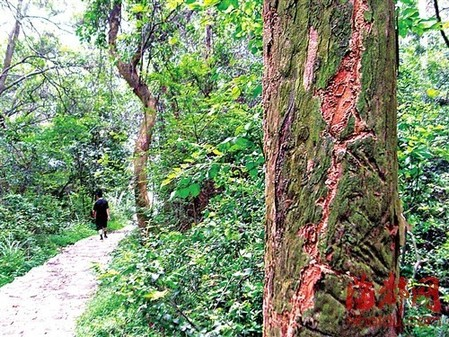 在旅游路的两侧种了不少龙眼树