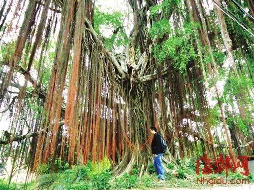 市园林局的名木古树专家介绍,榕树上的虫害还需要先调查,因为虫害的